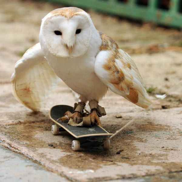This cool skateboarding owl. | 32 Animals Who Think They're People