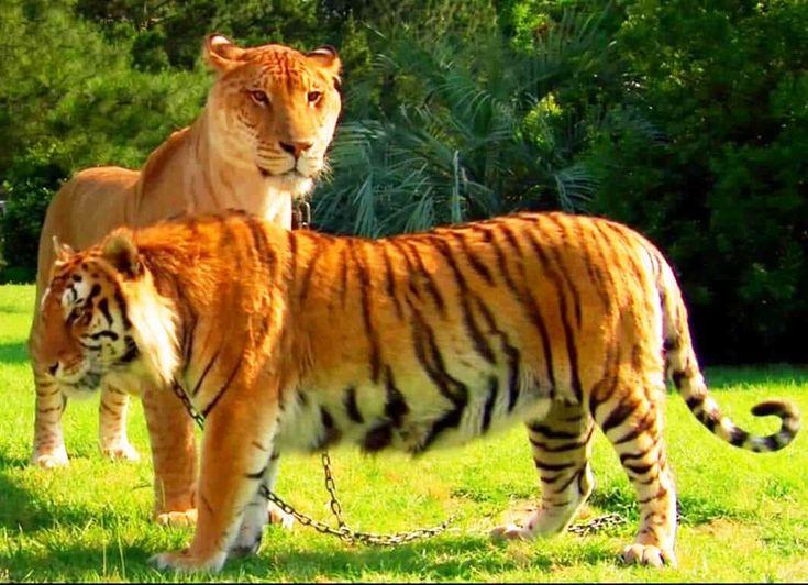 liger liger
