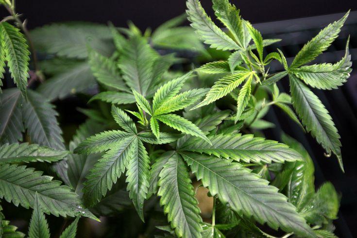 #Marijuana Legalization 2017: Which States Will Consider Cannabis This Year? - International Business Times: International Business Times…