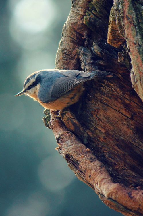Red-breasted Nuthatch | Sitta canadensis