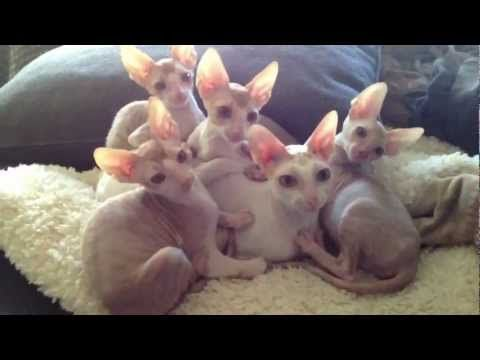 ▶ Pile of Cornish Rex kittens - YouTube I'm a proud Cornish Rex owner and this is just too precious!