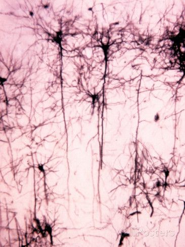 Neurons of the Cerebral Cortex Showing the Dendrites, Cell Bodies, and Axons Photographic Print by John D. Cunningham at AllPosters.com