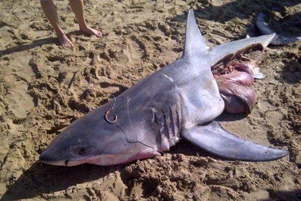 Sudafrica, lo squalo bianco ancora vittima della pesca illegale » fotografia per gentile concessione Oceans