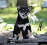 Shiba Inu Puppy for Sale in Pennsylvania