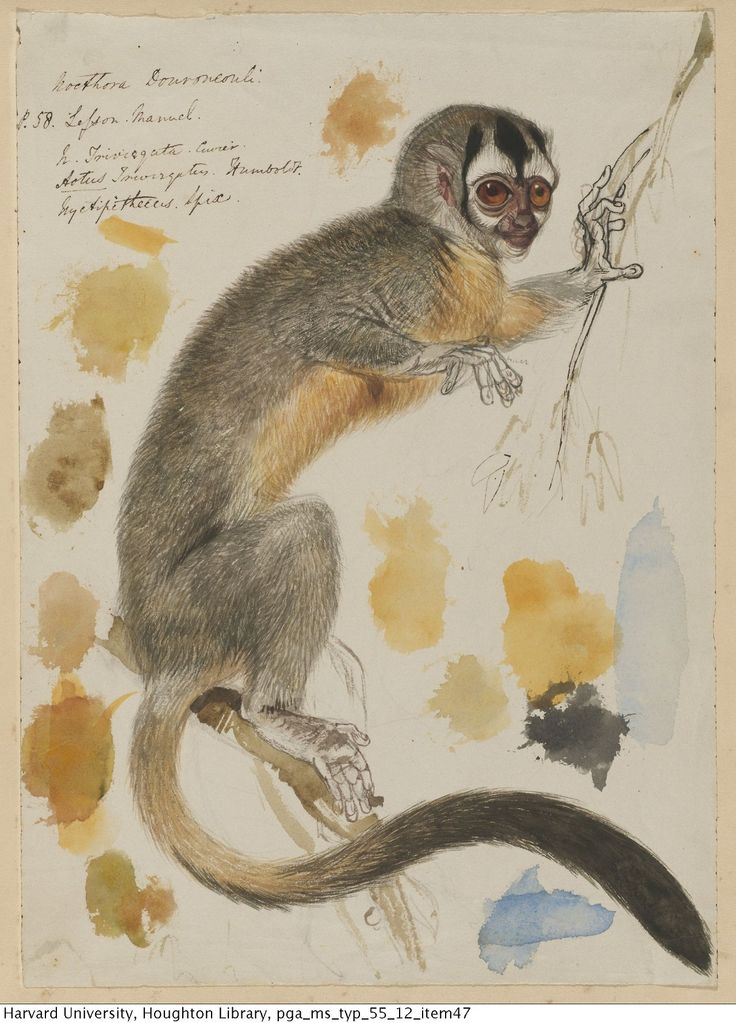 "houghtonlib: "" Lear, Edward, 1812-1888. Drawing of a night monkey, 1830s. MS Typ 55.12 Houghton Library, Harvard University """