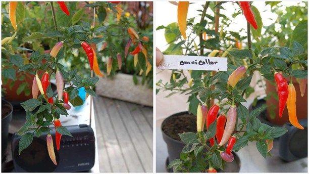 Hur gick det för chiliplantorna - Lottas trädgård tillbaka i P4 Extra - P4 Extra | Sveriges Radio chili