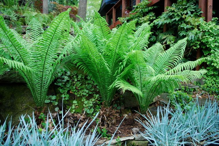 Landscaping With Ferns : Pin by bethany anderson on garden shade