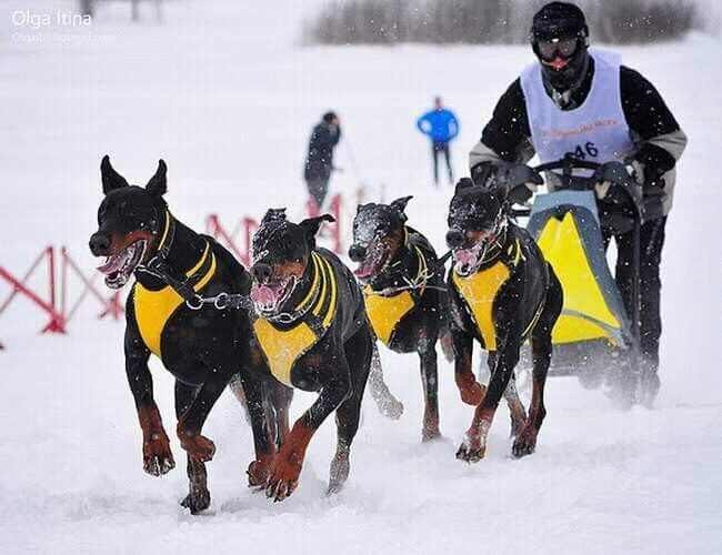 Not Your Average Sled Dog Team Photo Creds Aleksandar Spalevic