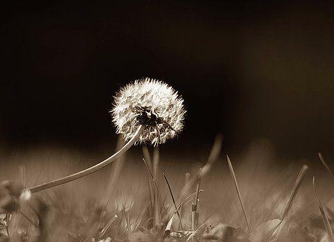 Dandelion in sepia by Olga Olay #OlgaOlayFineArtPhotography #ArtForHome #FineArtPrints #Flower