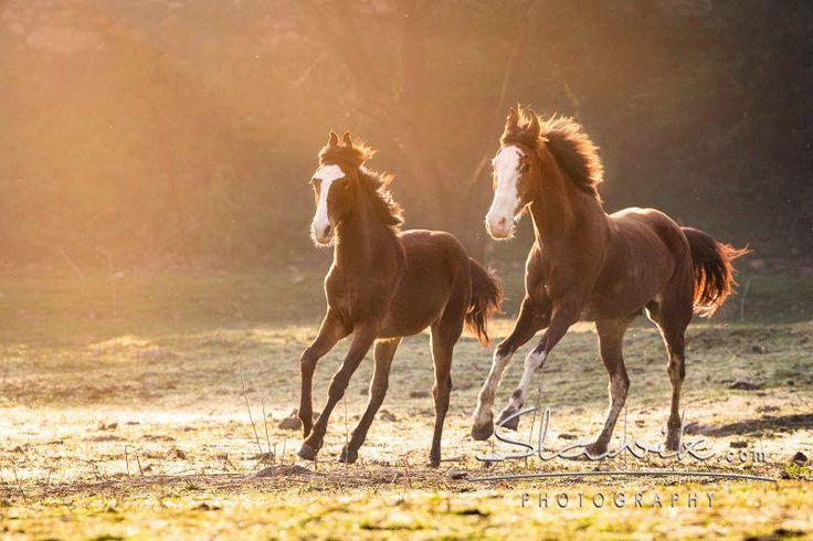 #marwari #horses #foals #india #sun #equine