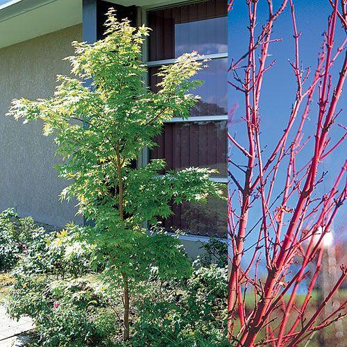 Acer palmatum 'Sango Kaku' - the coral bark maple - a beautiful small trees for any location.