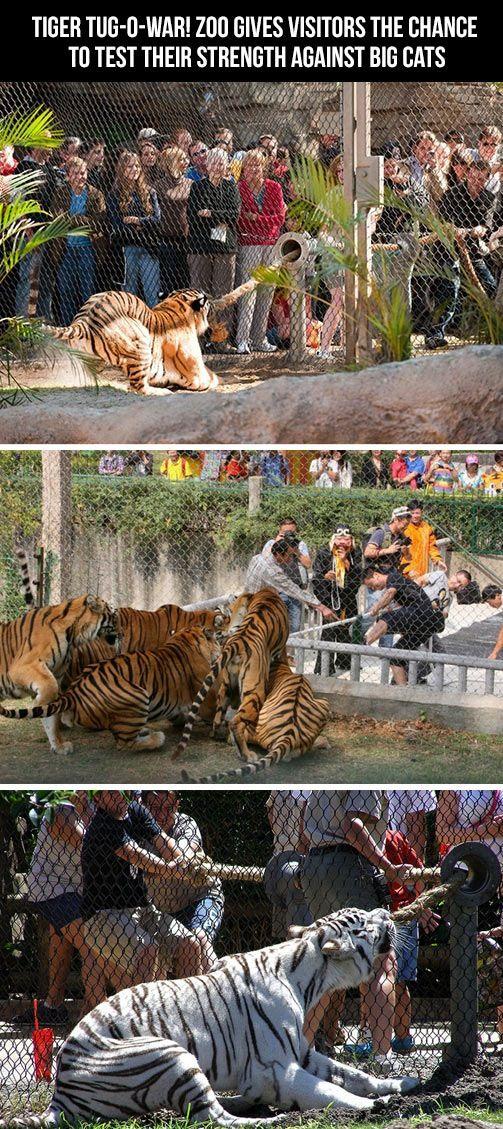 Tiger Tug-of-War at Busch Gardens in Tampa