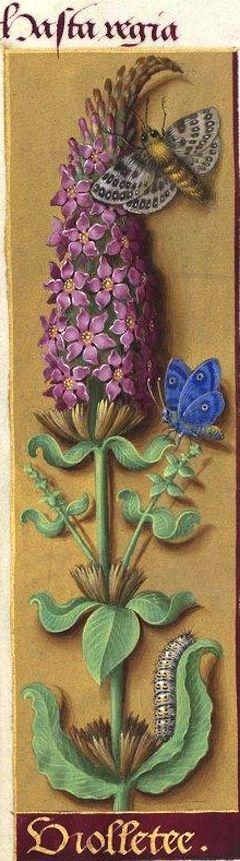 Violletee [violletes ?] - Hasta regia (Lythrum Salicaria L. = salicaire commune) -- Grandes Heures d'Anne de Bretagne, BNF, Ms Latin 9474, 1503-1508, f°52v