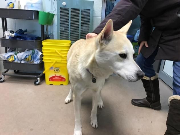 Cloe - URGENT - CITY OF MADISON HEIGHTS in Madison Heights, MI - ADOPT OR FOSTER - SENIOR ALERT - 10 year old Spayed Female Husky/Lab Retriever Mix