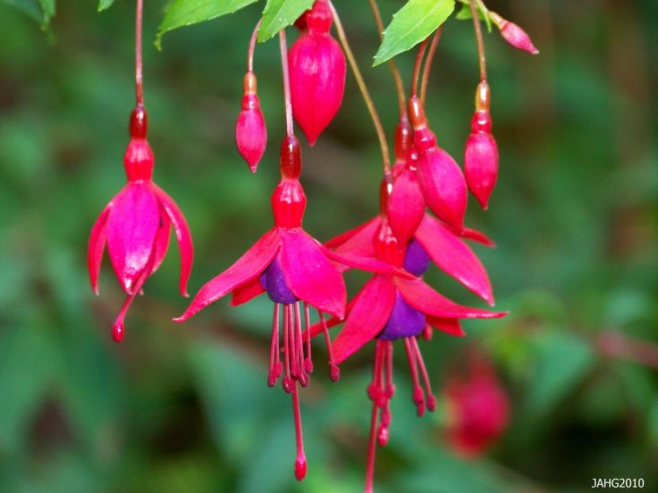 unusual flowers   This unusual flower form of Hardy Fuchsia('Miss Popple'?) is seen at ...