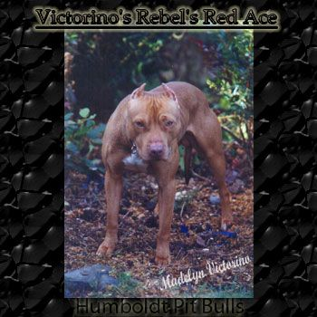 Afbeeldingsresultaat Voor Pitbull Adba Breeders Texas Pitbull Dog American Pitbull Pitbulls