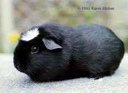 Black, white crested guinea pig.