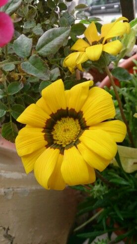 Gazania amarilla