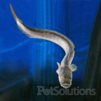 17 best images about feesh and my aquarium on pinterest for Dragon fish goby