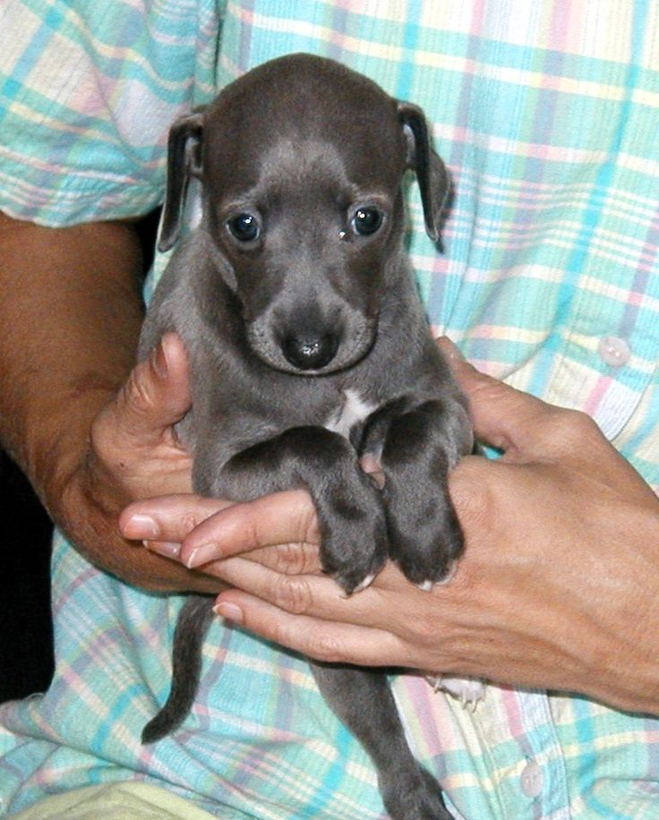 "Is An Italian Greyhound The Right Dog For You? The costs quoted in this article are WAY too low! House training is almost never 100%. ""Puppy Pads"" are a way of life. Would I give my IG, Bonnie Blue, up? Never!"