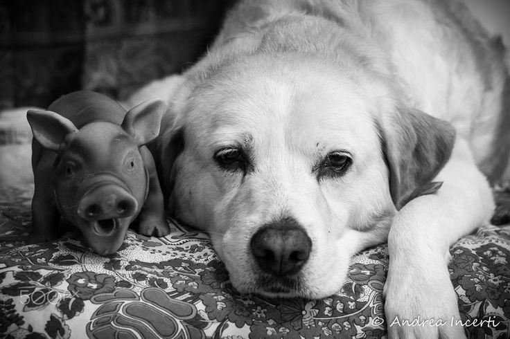 Labrador retriever portrait - Labrador retriever and her friend