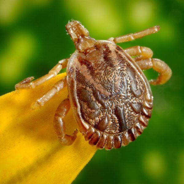 Tick repellent, tick repellent for dogs, ticks in yard, tiks vector, tick spray, diy tick repellent, tick repellent for humans