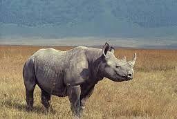 de zwarte neushoorn is een bedreigde diersoort. er zijn nog maar ongeveer 5000 van op de wereld. hij kan ongeveer 900 tot 1300 kilo wegen. en wordt ongeveer 35 jaar oud.