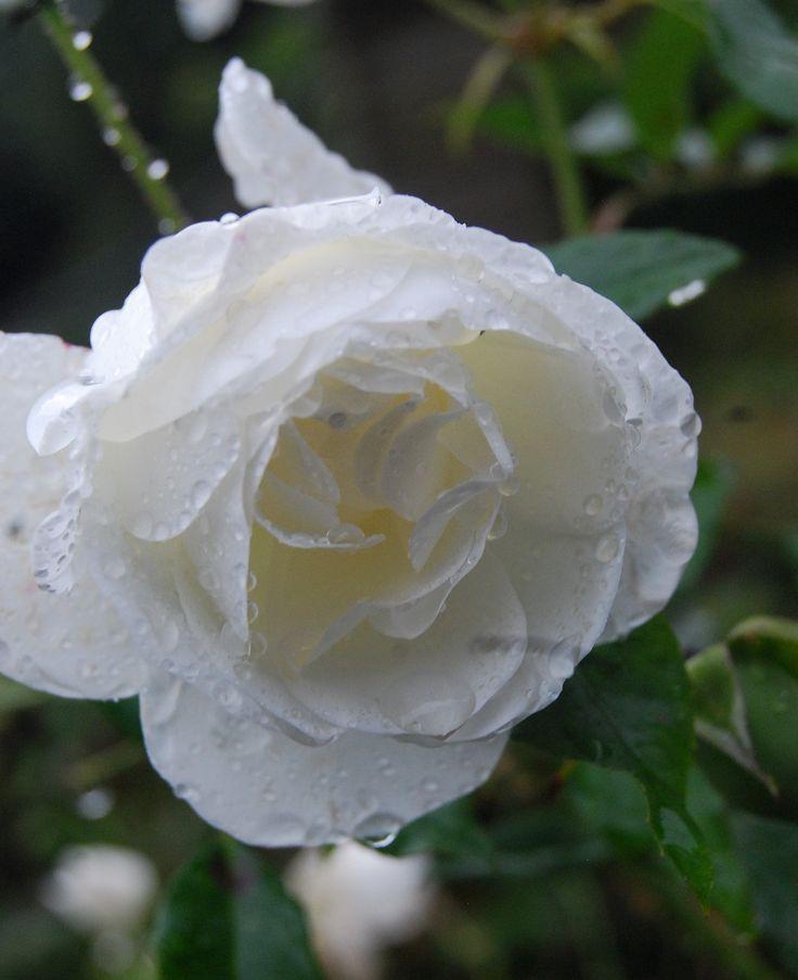 Weathered rose