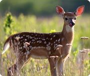 White-tailed deer, can leap over 2 1/2 metre high and 9 metres long