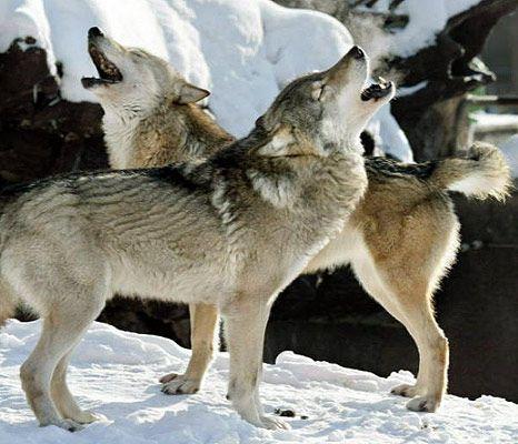 Tschechoslowakischer Wolfshund Brooke s Welt