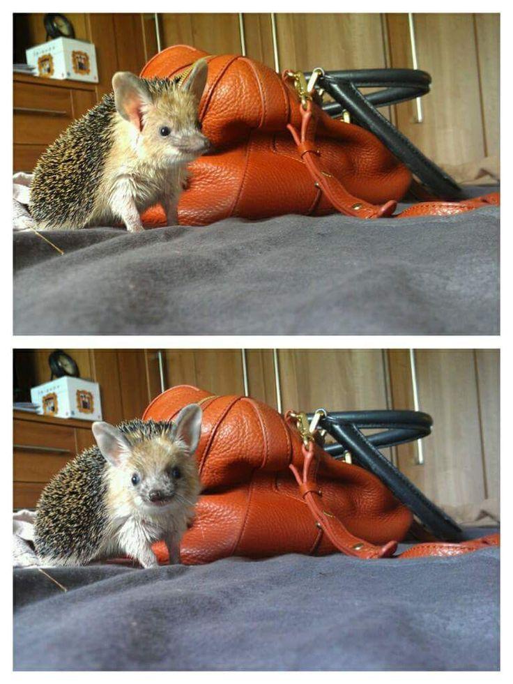 Yoda the hedgehog #cute #hedgehog #pet