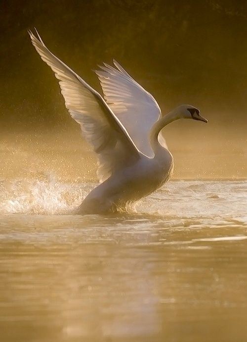 #swan ~ETS                                                                                                                                                                                 Plus