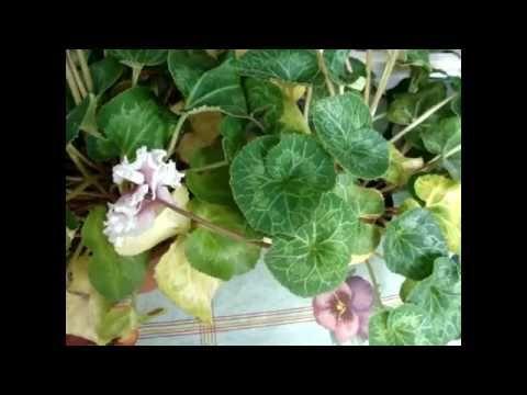 ЦИКЛАМЕН (Cyclamen) Желтые листья у  цикламенов.  Возможные причины поже...