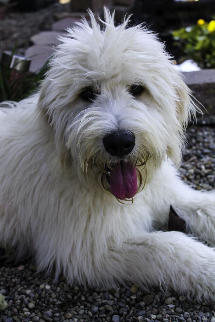 24 best goldendoodle puppies images on pinterest adorable elsa the eglish goldendoodle willow tree goldendoodles nvjuhfo Images