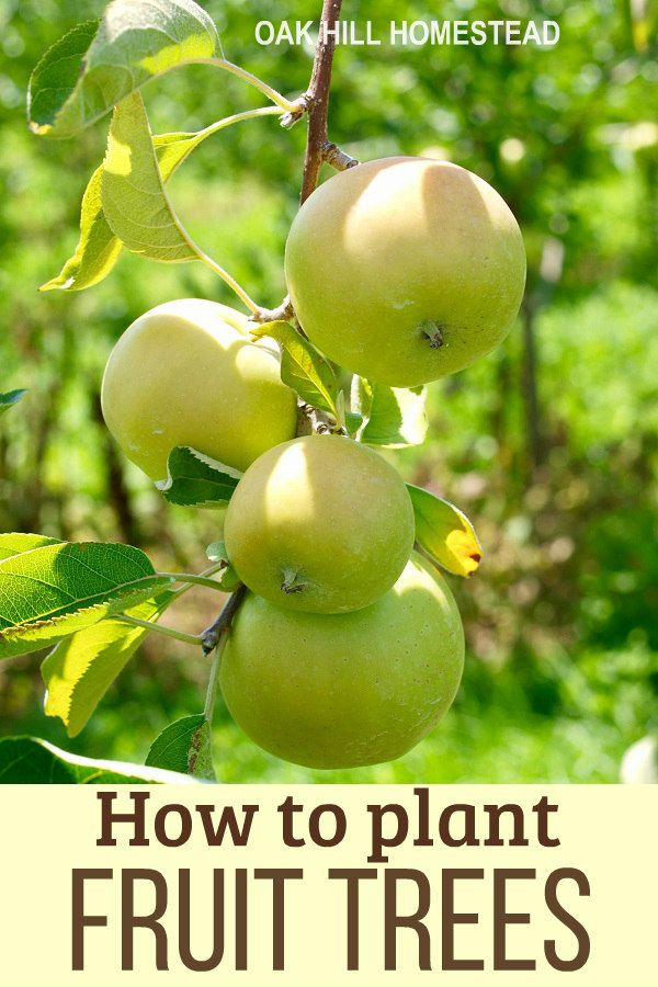 How To Plan And Plant A Homestead Orchard Fruit Trees Starting A Garden Fruit Plants