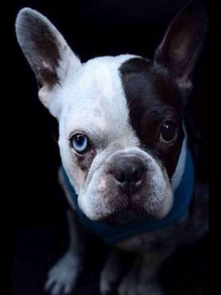 Bruno, the Pied French Bulldog with One Blue Eye, stunning