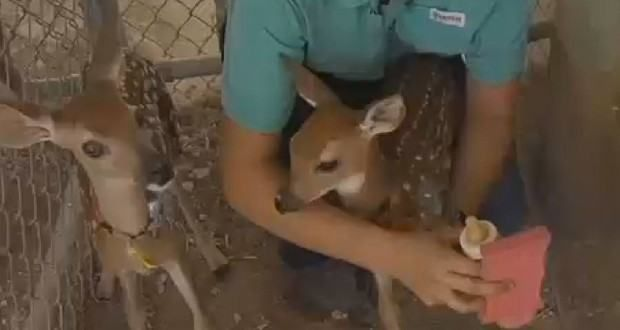 Small Texas University Doing Some Groundbreaking Deer Research [VIDEO]