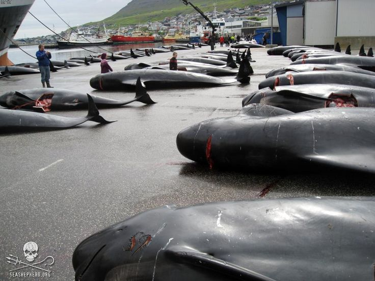 File photo: pilot whales killed in a massive grind slaughter of more than 200 whales in 2010. Photo: Sea Shepherd / Peter Hammarstedt