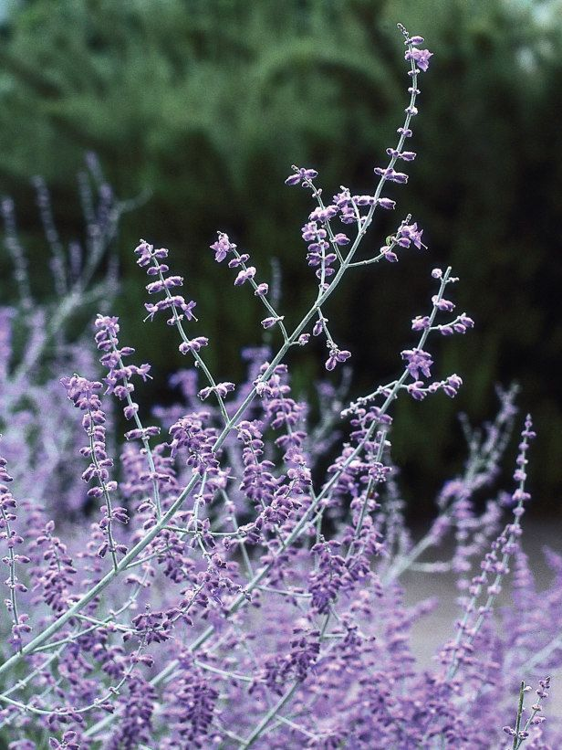 how to cut back russian sage