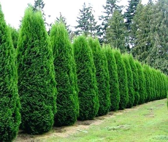 Arborvitae Types Arborvitae Emerald Green In 2020 Emerald Green Arborvitae Arborvitae Tree Arborvitae