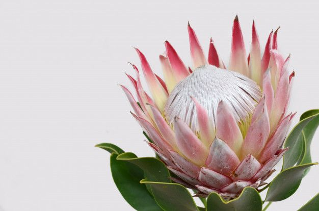 Red Protea Flower Bunch On A White Isolated Background Closeup For Design Nature Protea Flower Bunch Of Flowers Protea Art