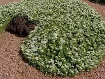 myoporum parvifolium - Google Search