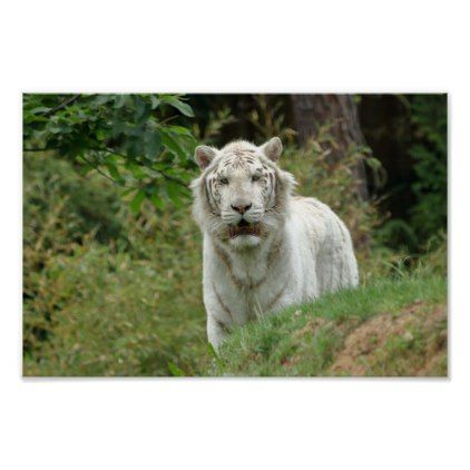 Poster. White tiger. Poster - animal gift ideas animals and pets diy customize