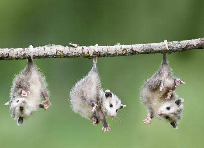 Baby Opossums Hanging From Branch | Bored Panda