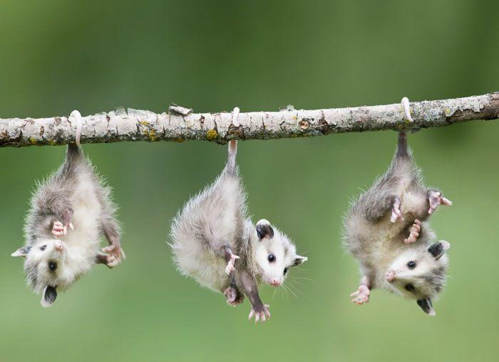 Possum et Opossum (2)                                                                                                                                                                                 More