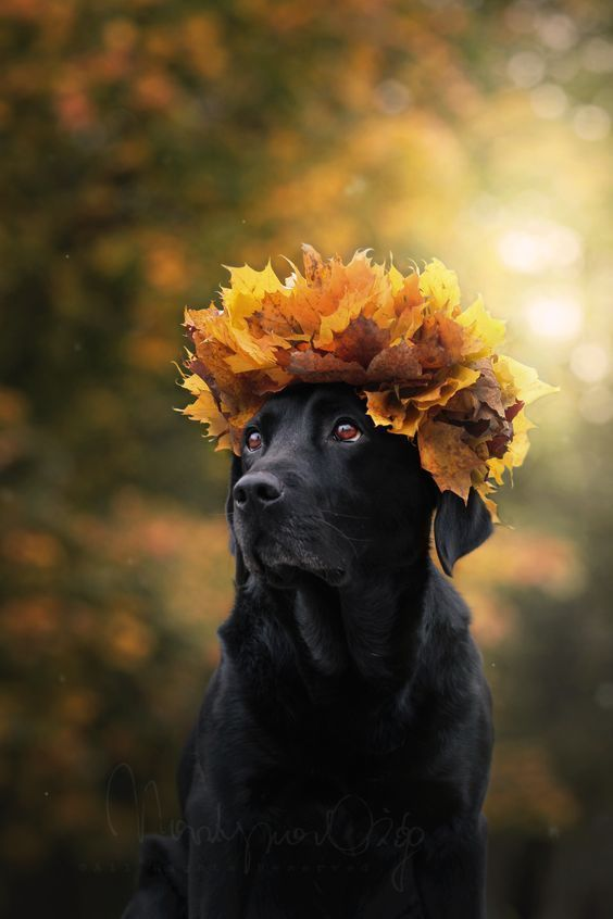 Beautiful black lab is ready for fall