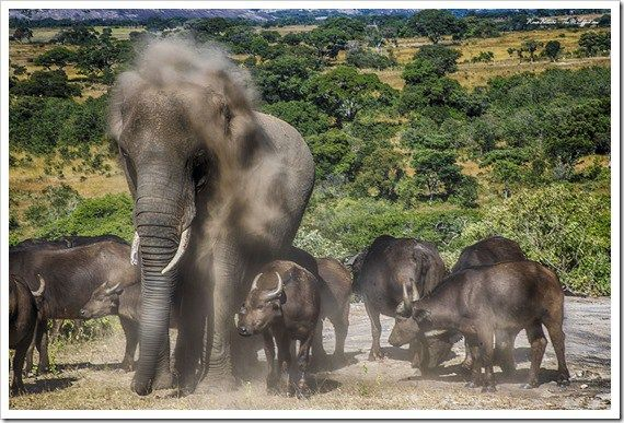 Elephant adopted by a buffalo herd