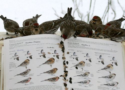 beautiful-secret-world:  …magic tricks ~ the hungry muses!… heracliteanfire:   Redpolls on pg. 532-33, The Sibley Guide to Birds. (by Scott A. Young)
