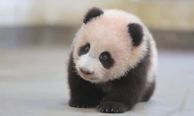 Heart-warming video shows Peanut the panda learning to walk