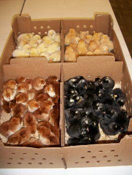 Meat Chicken Breeds Cornish-cackle hatchery